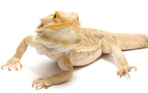 bearded-dragon-care-5001-7a313129