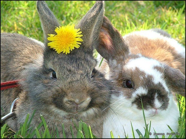 two rabbits in grass- one with dandelion on head
