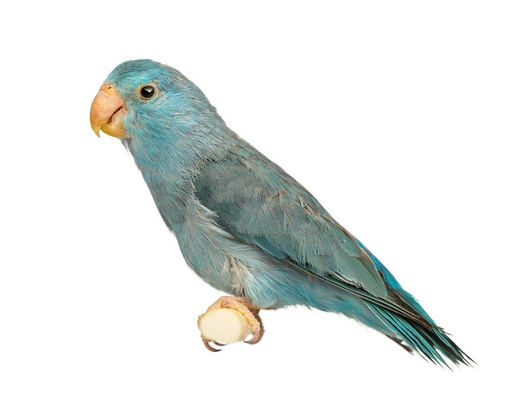 Blue_Pacific_Parrotlet.295234909_large