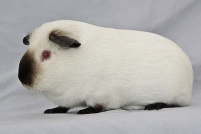 All About Himalayan Guinea Pig | Wide Open Pets