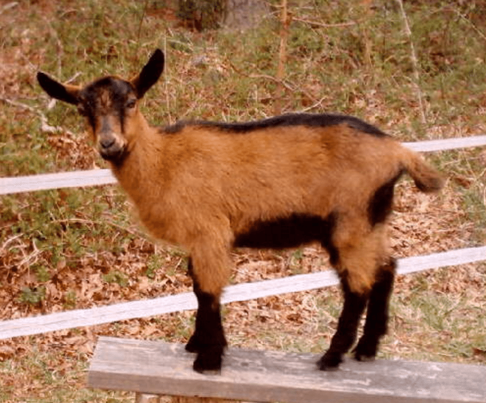 All About Oberhasli Goats | Wide Open Pets