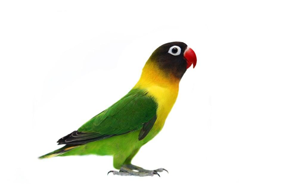 blk_masked_lovebird.293232206_large