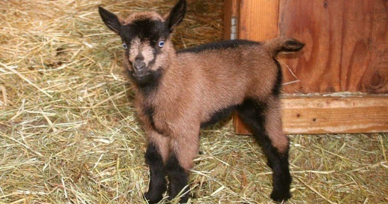 Oberhasli Goats Everything You Need To Know About The Breed