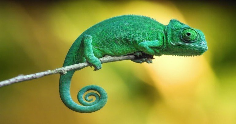 Chameleons: 10 Facts You Probably Need to Learn