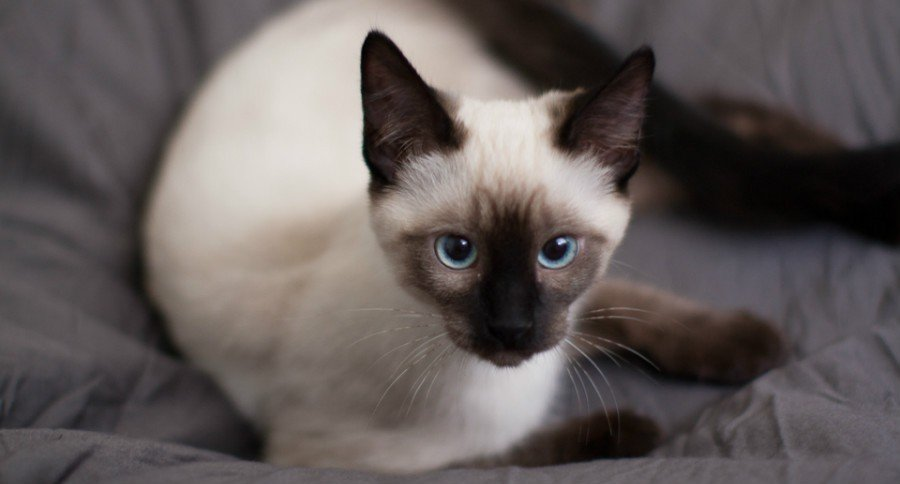 What Are Siamese Cats Like As Pets