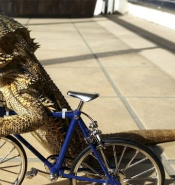 bearded dragon riding a bike