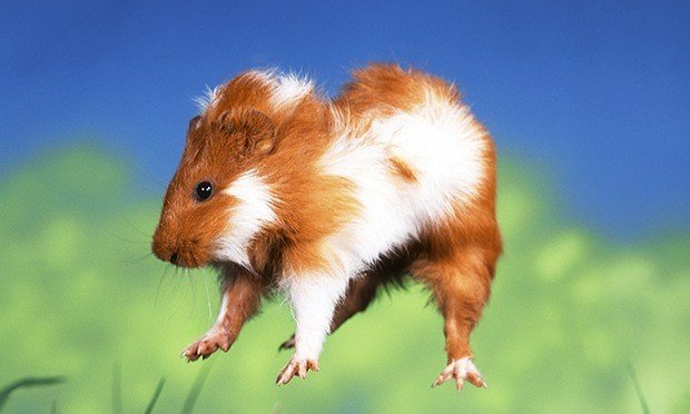 What Is Popcorning And Why Do Guinea Pigs Do It