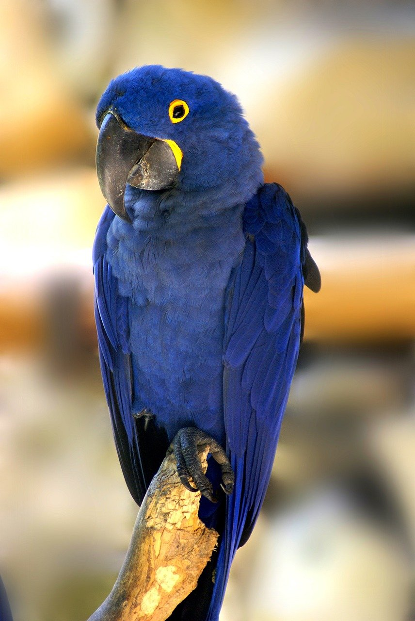 Hyacinth Macaws: Everything You Need to Know About the ...