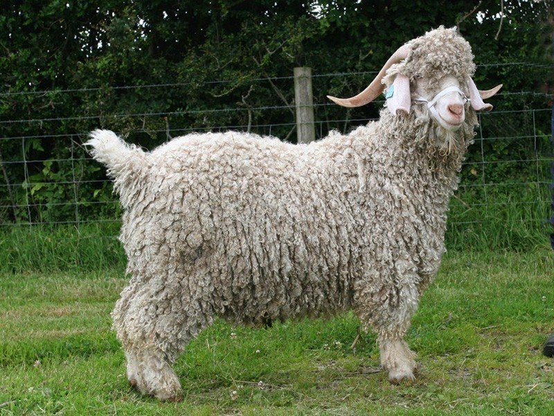 Angora Goats Everything You Need To Know