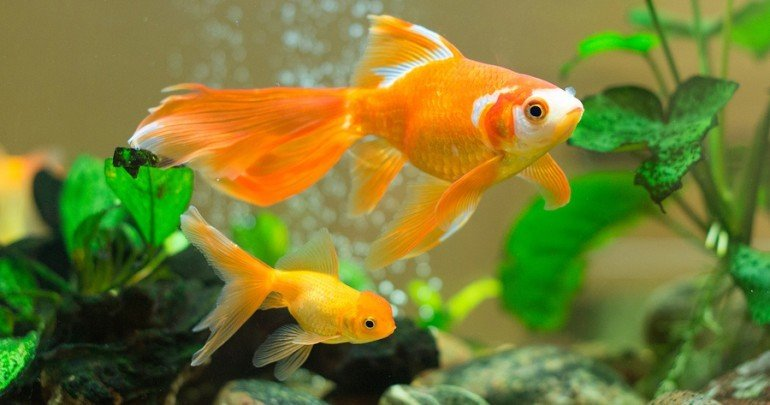 Goldfish everything you need to know about this fish breed for Nourriture poisson rouge voile de chine