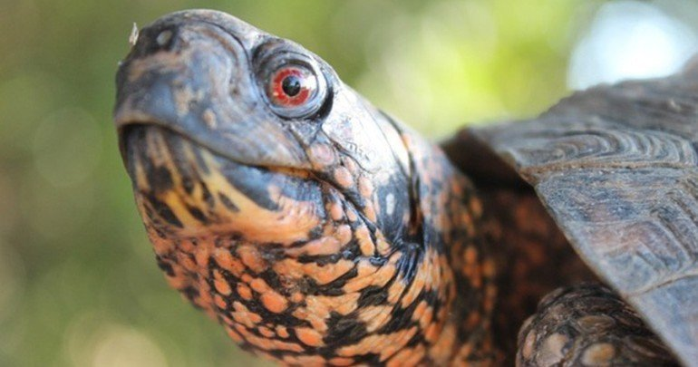 Box Turtles: Everything You Need to Know About Keeping One ...