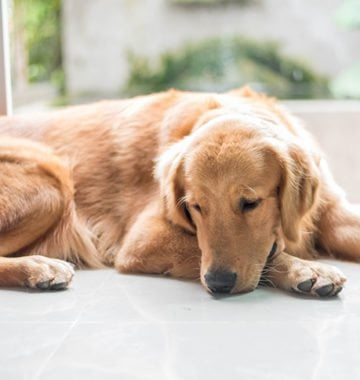 Golden retriever dog lying on the floor looking sad