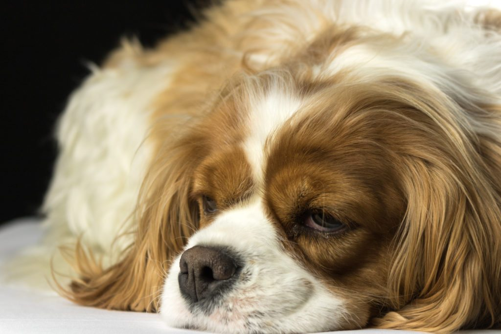 Sleeping Blenheim cavalier Dog
