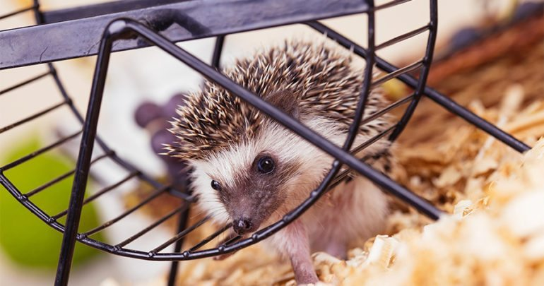 African pygmy hedgehog baby playing with a pet wheel.