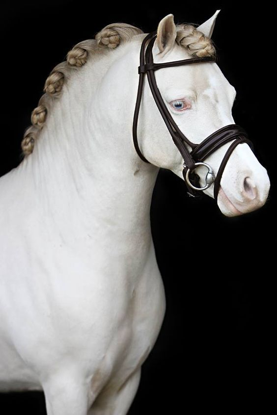white horse with braided mane in tight buns