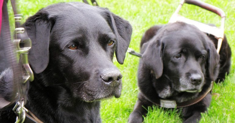 Guide Dog Rehoming >> Here S What Happens To Retired Guide Dogs