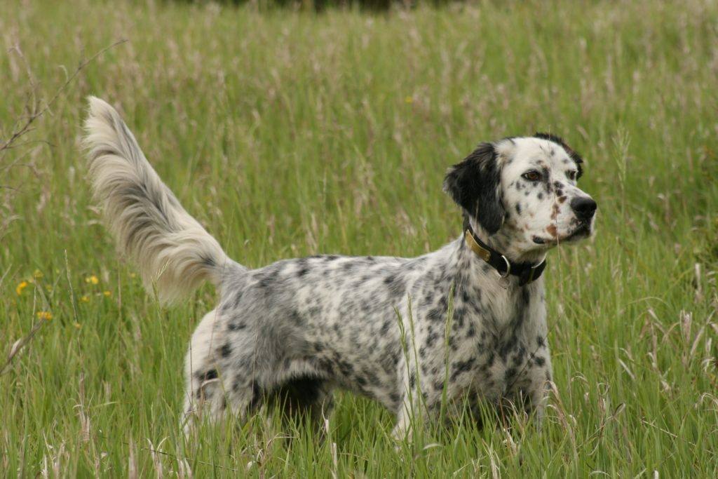 hunting dog breeds 5 of the best sporting canines. Black Bedroom Furniture Sets. Home Design Ideas