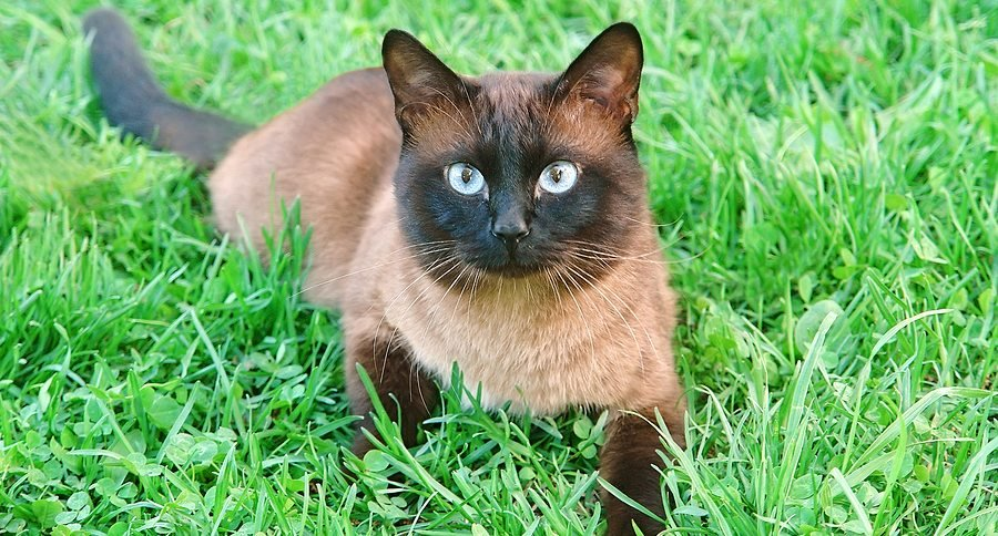 Siamese Cats As Pets