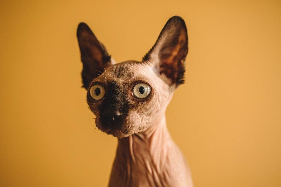 Portrait Of Hairless Sphynx