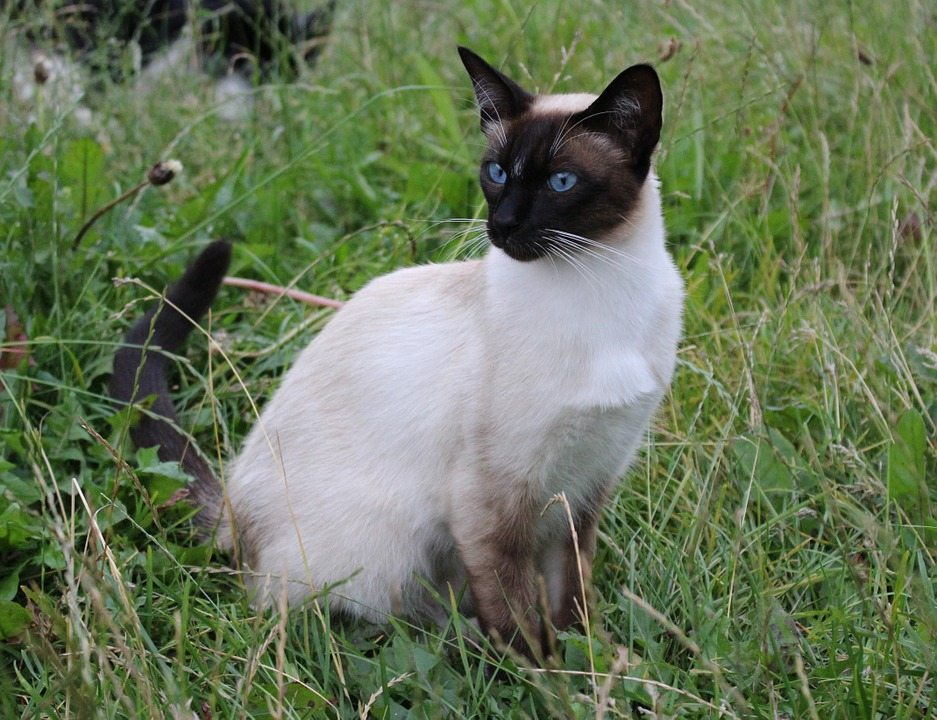 Flame Point Siamese What You Need To Know About This Coloration