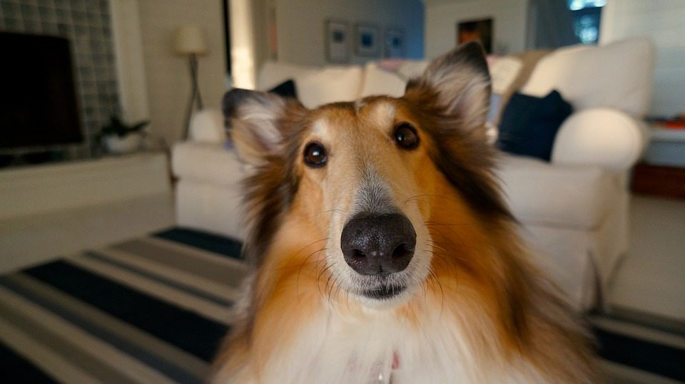 Collie closeup