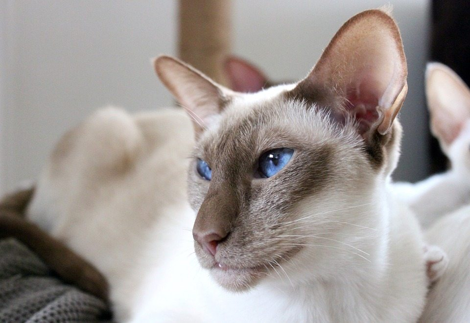 Siamese Cat
