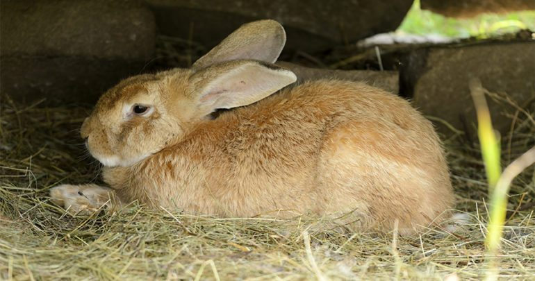 Close up of a Flemish giant rabbit (Oryctolagus cuniculus)