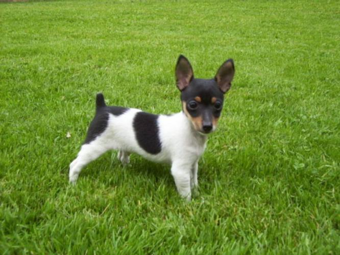 Toy-Fox-Terrier-animal breeds