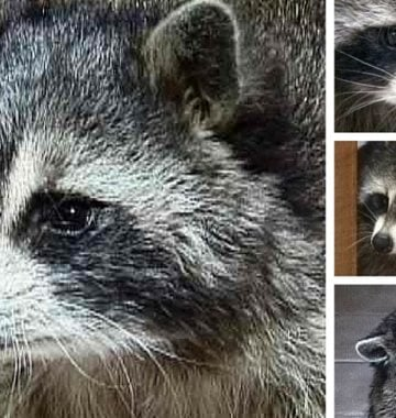 Raccoon Pet