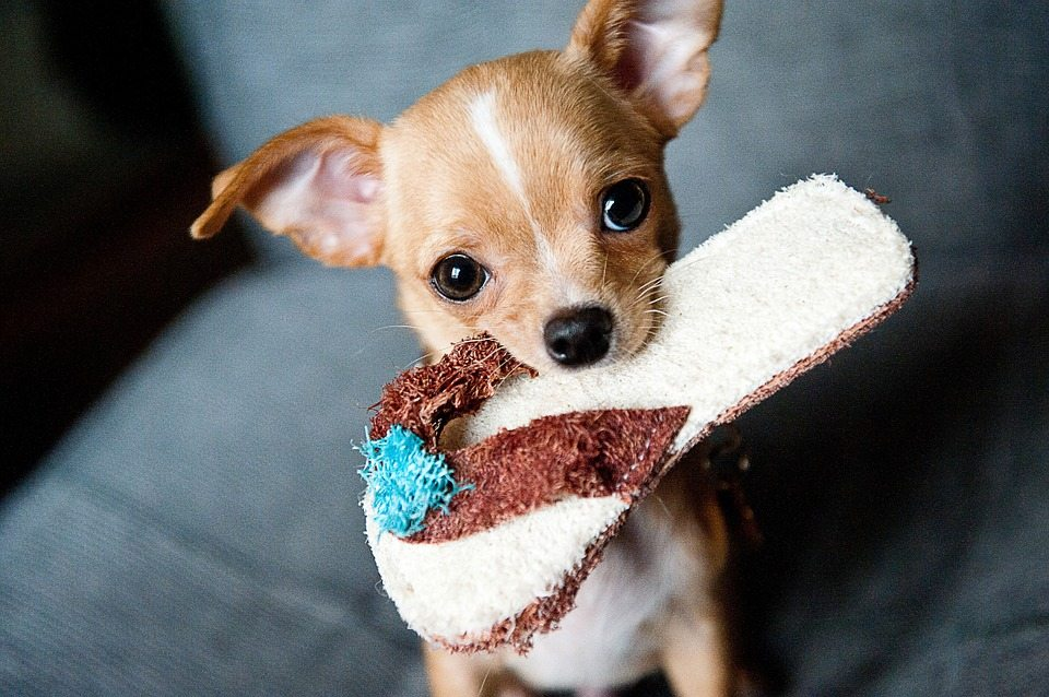 6 Smallest Dog Breeds with the Biggest Hearts
