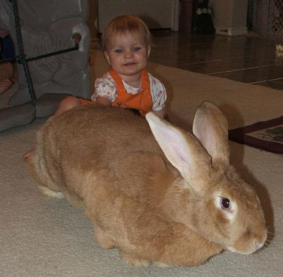 flemish giant rabbit, sandy