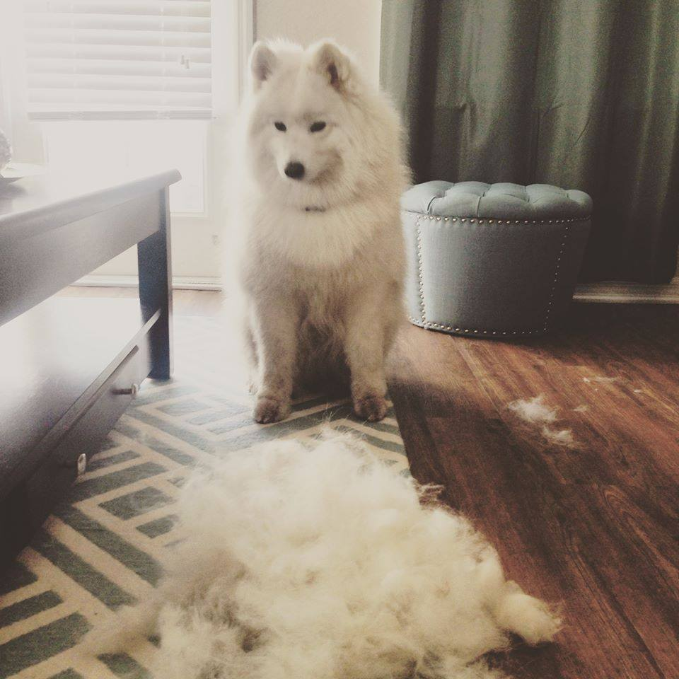 Samoyed hair