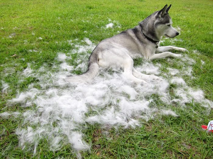 Husky coat blow