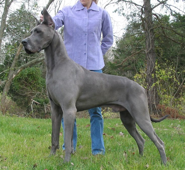 biggest-dog-breeds-great-dane
