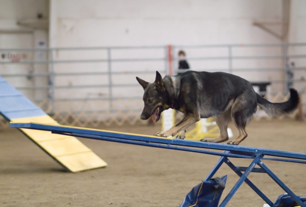 German_Shepherd_Dog_agility_teeter