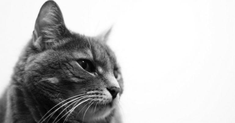 cat grooming san antonio