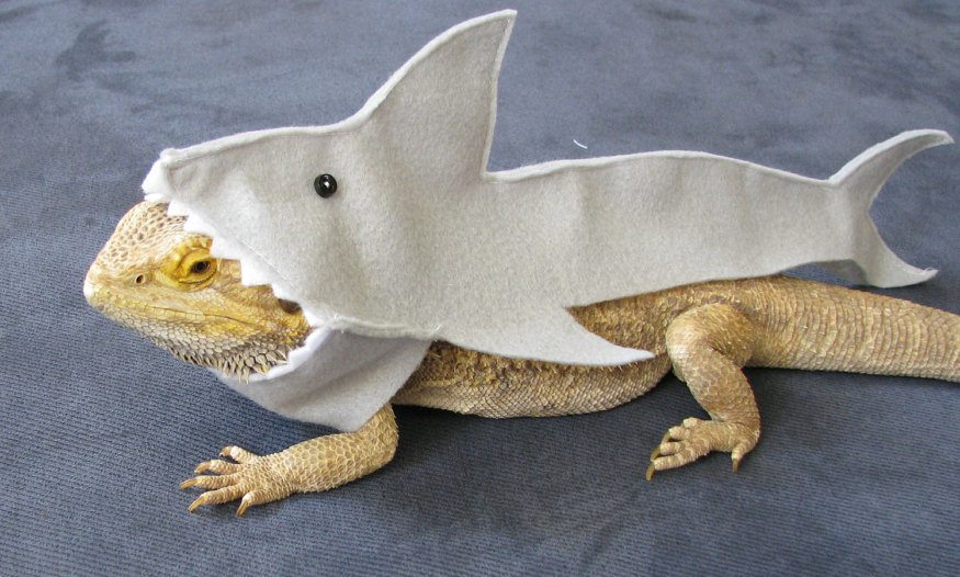 bearded dragon in shark costume
