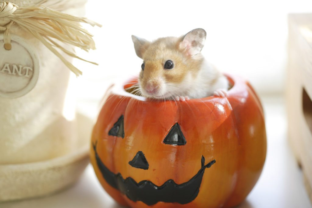 hamster in a pumpkin