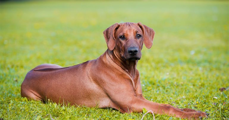 Rhodesian Ridgebacks: Everything You Need to Know About ...