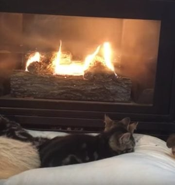 Dogs and cats sleeping by fire