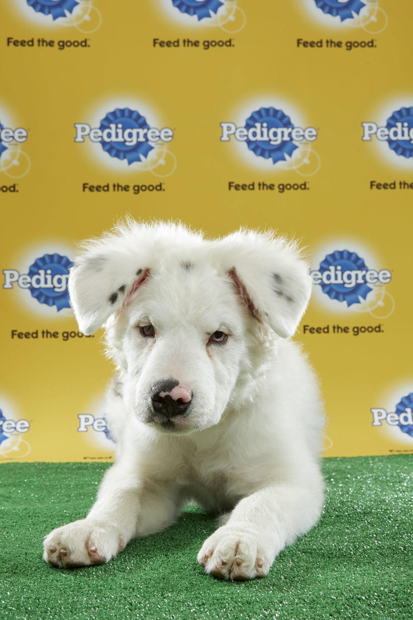 disabled dog in the puppy bowl