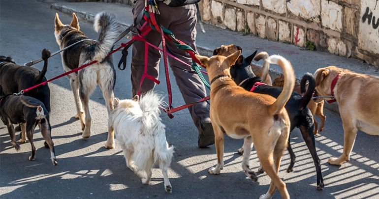 Image of: Senior Dog Walker In The Street With Lots Of Dogs Life With Dogs Leader Of The Pack Important Tips On Walking Multiple Dogs