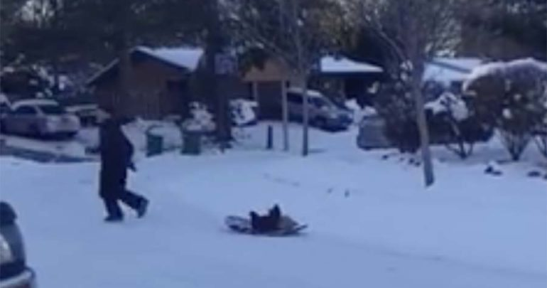 pulling chickens in a sled