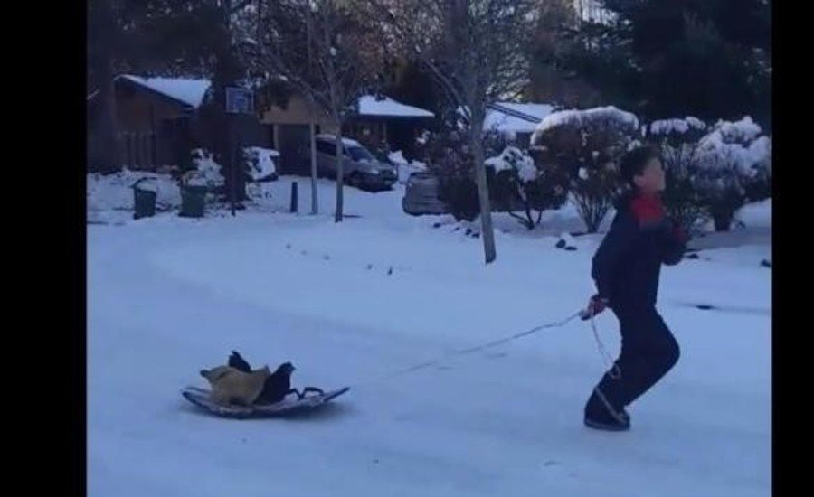 boy pulling chickens on a sled