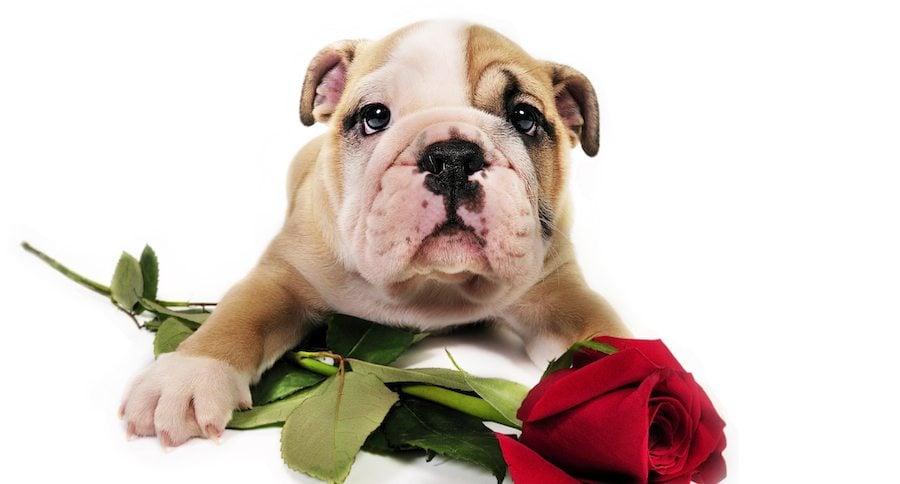 English bulldog puppy with rose