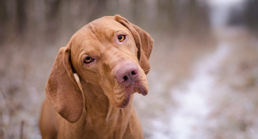 vizslas everything you need to know about the dog breed