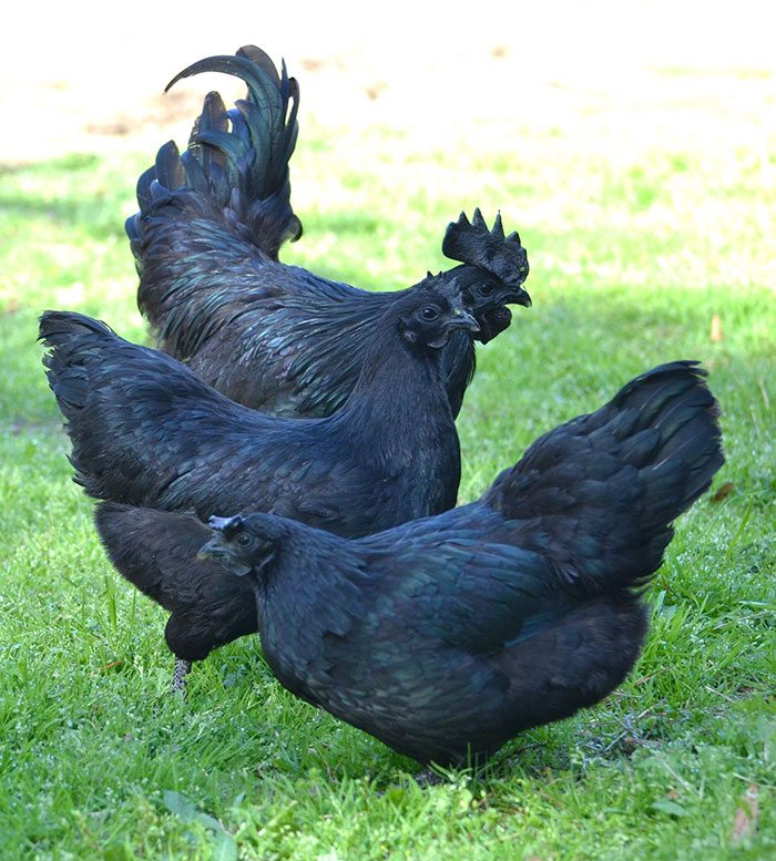 This Rare Indonesian Chicken Is Completely Black Inside ...