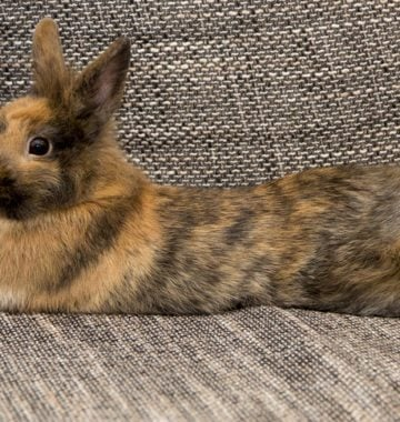 Bunny lying on a couch - Rabbit relaxing indoors