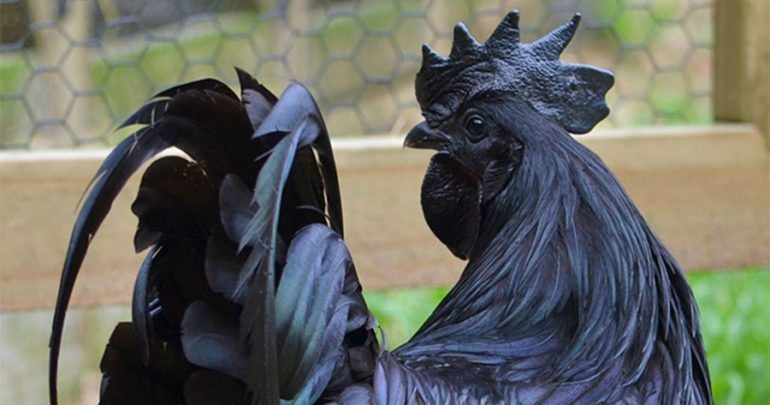 Black Chicken