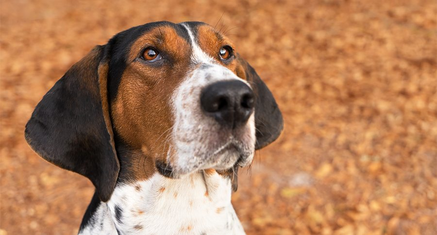 Treeing Walker Coonhound hound dog outside looking expectantly begging waiting watching staring listening sitting obediently with ears forward